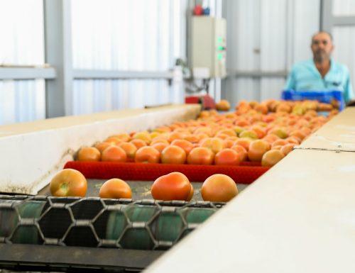 Proyecto USM para mejorar la producción del tomate ya tiene sus primeros resultados